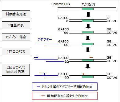 GenomeWalking_by_StraightWalk(BEX co).jpg